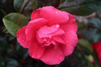 Camellia jap  'Kraemer's Supreme' (red)