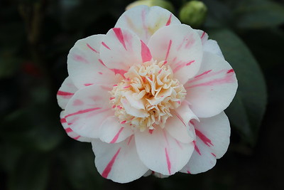 Camellia jap  'Eleanor McCrown' (2)