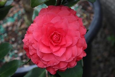 Camellia 'Nuccio's Bella Rosa'