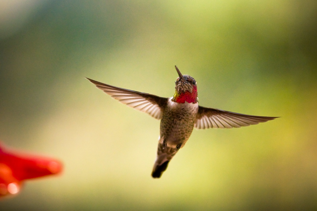 "<font color=""#666666"">Last but not least, here's a real-world sample...  I used a 150mm lens and an apeture of f/2.8.  The hummingbird was about 3-5 feet away from the camera, and the background was maybe 50 feet away...  This is always a recipe for a totally blurred, ""creamy"" background-  Get as close as you can to your subject, and shoot with a background that is 10x further than the camera-to-subject distance!</font>"