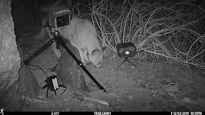 Mountain Lion by Camera Trap