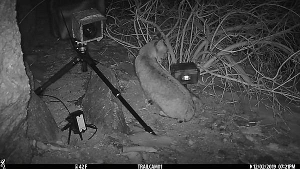 Bobcat and Trail Camera