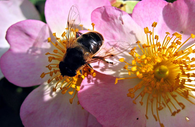 Hoverfly on rose