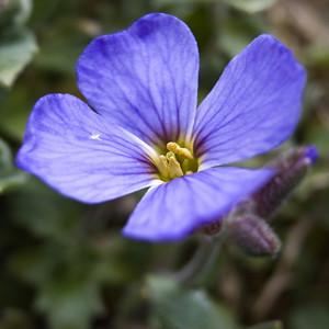 Tiny lobelia-like flower