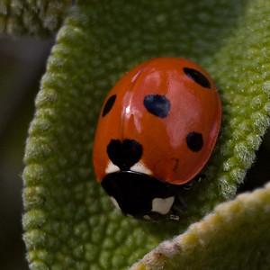 Ladybird on sage leaf