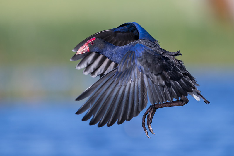 Australasian Swamphen in flight