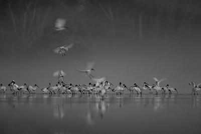 Australian White Ibis congregating at dawn in B&W.