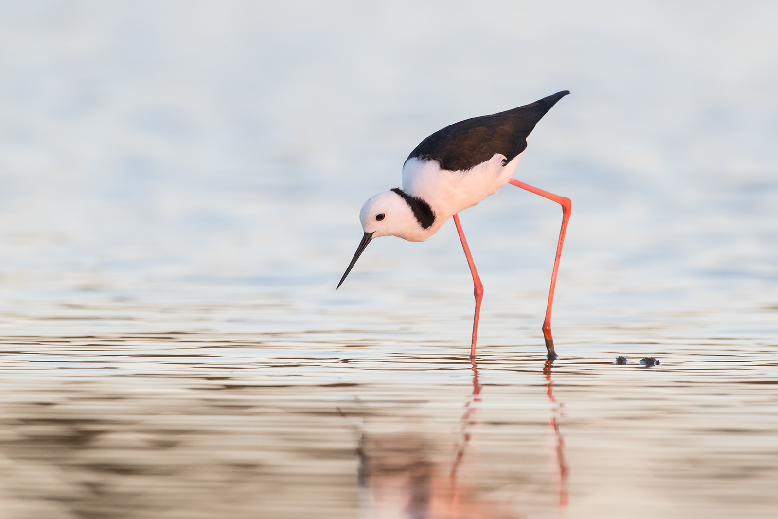 Black-winged Stilt feeding at last light