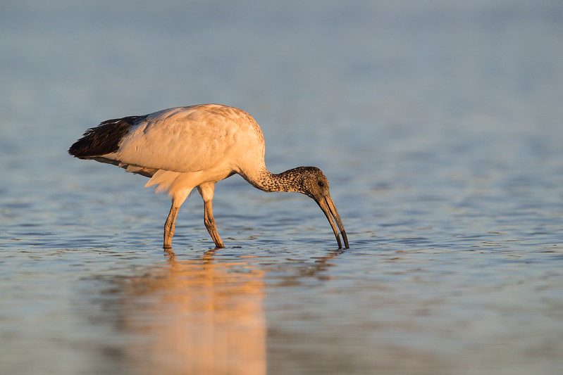 Australian White Ibis feeding at last light