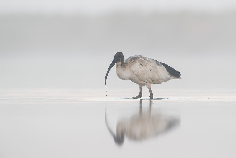 Australian White Ibis feeding at dawn in fog