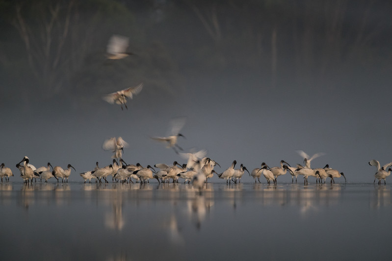 Australian White Ibis congregating at dawn