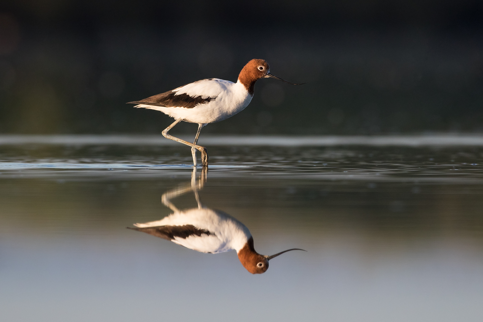 Red-necked Avocet wading through water
