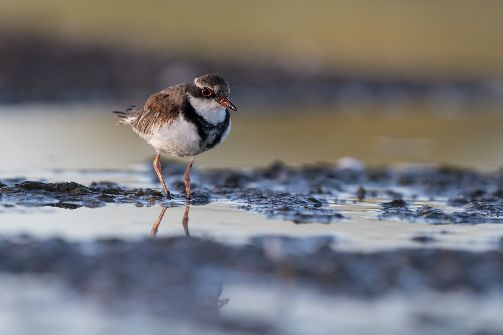 Juvenile Black-fronted Dotterel feeding in mud