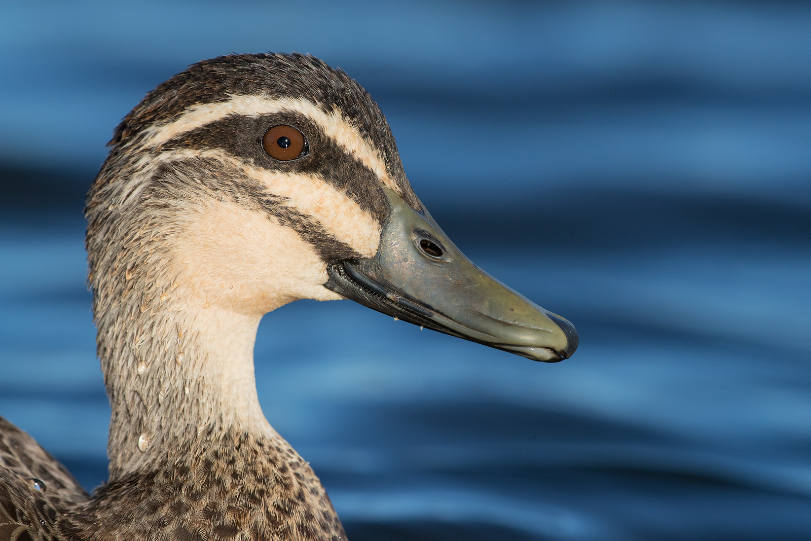 Pacific Black Duck portrait
