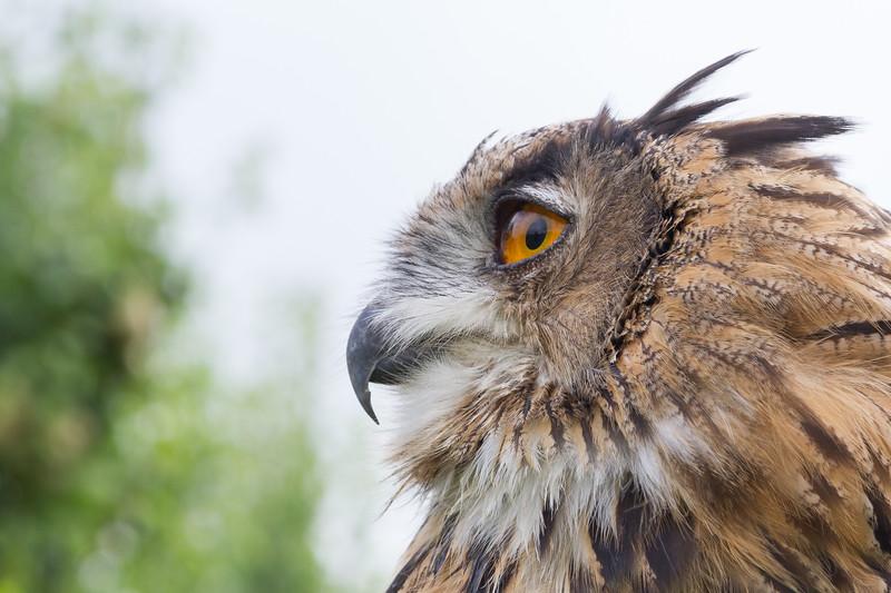 Eurasian eagleowl, Bubo bubo