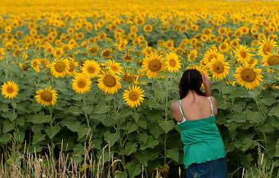 Several acres of sunflowers are at different spots in eastern Boulder County, like this one east of US Highway 287 on  Colorado Highway 52. Cliff Grassmick / August 13, 2009