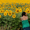 Several acres of sunflowers are at different spots in eastern Boulder County, like this one east of US Highway 287 on  Colorado Highway 52.<br /> Cliff Grassmick / August 13, 2009