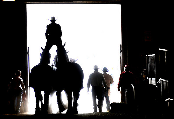 0110STOCK3.JPG Jason Goodman (cq) leads the Texas Thunder Percheron Horses out of the Denver Coliseum standing on the back of the last two at the National Western Stock Show complex in Denver, Colorado January 09, 2009. CAMERA/Mark Leffingwell