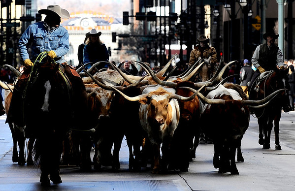 STOCK_0114STOCK2.jpg Cowboys guide Longhorn cattle up 17th Street for the at the National Western Stock Show Parade in Denver, Colorado January 13, 2009. CAMERA/Mark Leffingwell