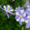 Columbine, the Colorado State Flower