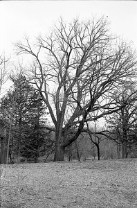 Oak Tree by Picnic Table.