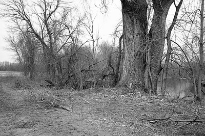 Big Cottonwood Tree