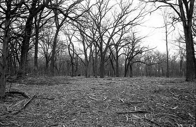 Looking back from the river towards big oak tree stumpl