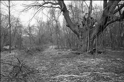 Big Tree along trail from fishing spot.
