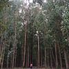 Towering eucalyptus forests near Santiago