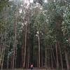 Towering eucalyptus forests near Santiago
