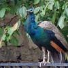 Peacocks at El Molino
