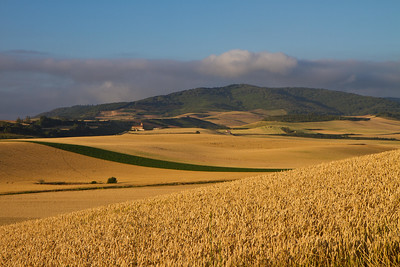 Golden fields of wheat between Santo Domingo de la Calzada and Belorado.