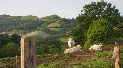 Cattle along the Valcarlos route over the Pyrenees from St-Jean-Pied-de-Port to Roncesvalles, Spain.