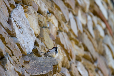 Birds resting in the historic facade of a building in Esquirotz, Spain along the Camino de Santiago.