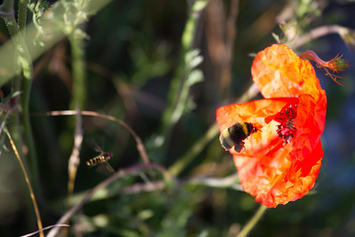 A bumble bee hovers over a red spring poppy, common along the Camino de Santiago in spring and late summer.