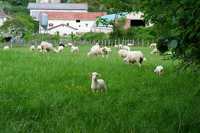Lambs frolic outside of Roncesvalle, Spain on the Camino de Santiago.