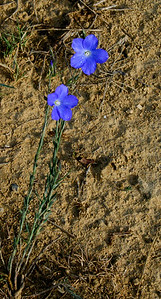 Flowers bloom by an adobe brick wall near Mañeru along the Camino de Santiago.