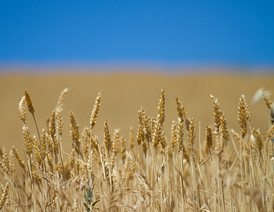 Wheat fields ready for harvest between Villamajor de Monjardín and Los Arcos on the Camino de Santiago.