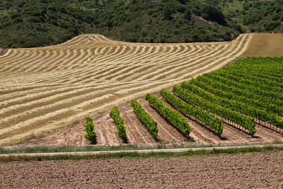 Rows of grape vines become a common site in this wine-rich section of the Camino in Navarra and La Rioja.