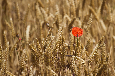 A red poppy blooms amid the wheat in the fields between Villamajor de Monjardín and Los Arcos on the Camino de Santiago.
