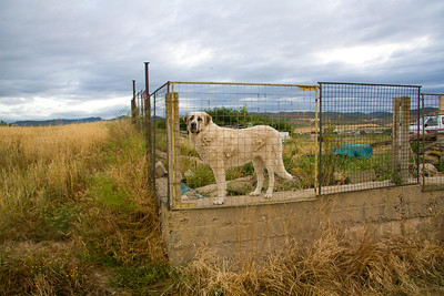 A dog watches as pilgrims leave Los Arcos on the trail to Logroño.