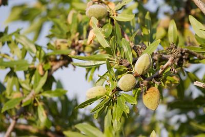 Almond fruit trees bear ripe almond fruits.