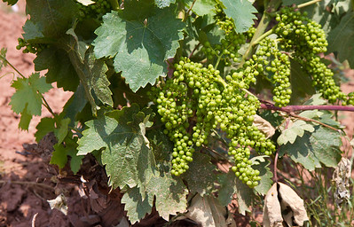 Green grapes grow in the vineyards before Nájera; When they are ripe they will be used to make famous La Rioja wine.