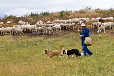 A shepherd tends his flock on the path to Santo Domingo de la Calzada from Cirueña.