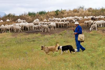 A shepherd tends his flock on the path to Santo Domingo de la Calzada from Cirueña.