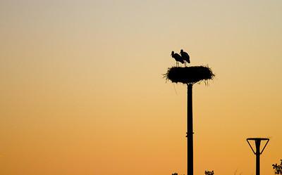 Storks nesting on tall poles over the Río Oja outside of Santo Domingo de la Calzada.