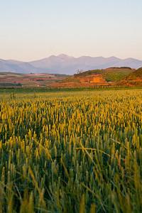 Wheat fields between Azofra and Cirueña.