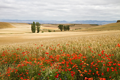 Golden wheat and wildflowers on the path to Santo Domingo de la Calzada from Cirueña.