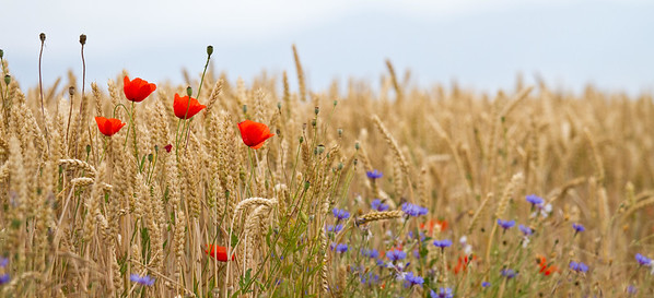 Summer wheat with wildflowers along the Meseta.