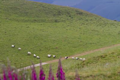 Sheep cross the path of the Camino de Santiago in the Pyrenees Mountains.